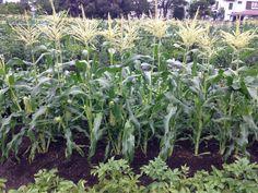 トウモロコシ伸びて、