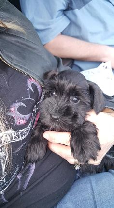 """Explore our web site for even more info on """"schnauzer puppies"""". It is actually an excellent location to learn more. Miniature Schnauzer Puppies, Giant Schnauzer, Schnauzer Puppy, Schnauzers, Cute Puppies, Cute Dogs, Dogs And Puppies, Doggies, Funny Animal Videos"""