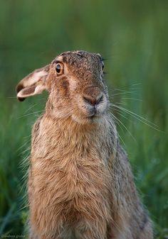 European Hare (Lepus europaeus) - An animal that practices caution Rabbit Run, Wild Rabbit, Jack Rabbit, Hare Pictures, Animal Pictures, Beautiful Creatures, Animals Beautiful, Animals And Pets, Cute Animals