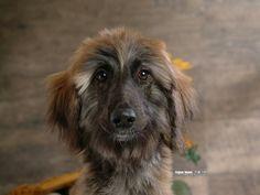Afghan Hound-