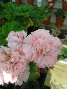 Elnaryds Karin Container Gardening, Rose, Plants, Geraniums, Flowers, Pink, Plant, Roses, Container Garden