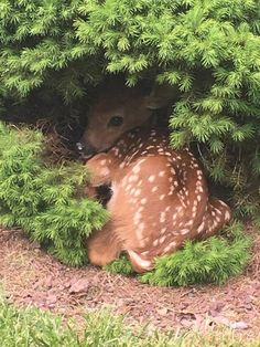 Baby deer taking a nap. Cute animal pictures of the day. Cute Creatures, Beautiful Creatures, Animals Beautiful, All Gods Creatures, Nature Animals, Animals And Pets, Strange Animals, Wildlife Nature, Forest Animals