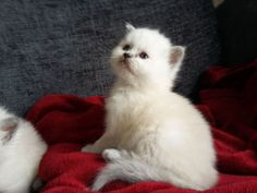Pure persian kittens for adoption Kitten Food, Persian Kittens, Pets For Sale, Cool Bicycles, Livestock, Pet Dogs, Your Pet, Adoption, Pure Products
