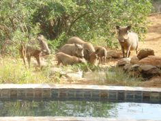 Warthog family enjoying a drink from a waterhole at a home in Raptors View Wildlife Estate Viewing Wildlife, Close To Home, Raptors, Drink, Water, Homes, Animals, Gripe Water, Animales