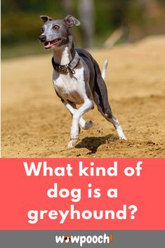 #Greyhound #dog #breed information, etc.   This breed of dogs can co-habit with humans. You just need to follow the rules and there will be no issues of an irritable greyhound in your house.    It is wise to read up Greyhound dog breed information to learn out about their origin, food, and how to acquire them.
