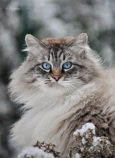 Yes, I have been told I have that Dame Judith Dench look, beautiful lady. Thank you for noticing. (lynx point ragdoll cat)