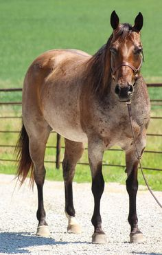 American Quarter Horse, Beautiful Horses, Animals, Pretty Horses, Animales, Animaux, Animal Memes, Animal, Animais