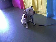 Juliette is an adoptable American Staffordshire Terrier, Pit Bull Terrier Dog in #Polson, #MONTANA JULIETTE WAS RESCUED IN THE LAST HOUR AT A HIGH KILL SHELTER .SHE WAS OUTSIDE THE EUTH ROOM WAI ... ...Read more about me on @petfinder.com