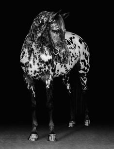 All The Pretty Horses, Beautiful Horses, Animals Beautiful, Simply Beautiful, Animals And Pets, Cute Animals, Majestic Horse, Appaloosa Horses, Horse Pictures