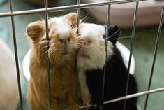 Guinea pigs--I love how they are smooching their faces.. They must be STARVING!!! LOL!!!