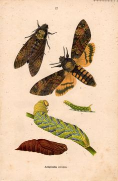 1915 Death'sHead Hawk Moth Insect Lithograph by Craftissimo, €14.00