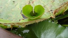 Hearts in Nature........Gorgeous water lily heart.