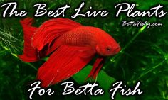 Learn how to spruce up your aquarium by choosing the best live plants for betta fish!