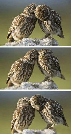 "Norwegian wildlife photographer in the region of Catalonia, Spain snapped a noctua little owl pocket owl romantic picture of the ""deep kissing"", they seem to really enjoy."