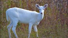 White Deer: Understanding a Common Animal of Uncommon Color – Cool Green Science