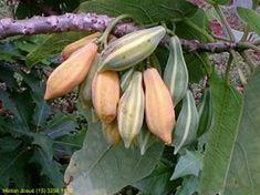 IARACATIÁ ( Vasconcellea quercifolia) // (dez-abr) // Os frutos adocicados, tem sabor semelhante ao do mamão papaia, podem ser consumidos com casca e tudo, porém comer pequenas quantias por causa do efeito laxativo. Também podem ser usados para fabricar sucos e doces. O tronco é usado para fazer um doce semelhante a cocada. A planta tem bela folhagem ornamental, mais fica despida de folhas no fim do inverno. cresce de 4 a 8 metros de altura com copa rala e irregular, ficando totalmente…