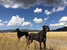 Two raw fed great Danes from the Long Living Pets Research Projects