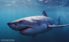 BBC Nature - Great white shark videos, news and facts