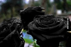 Black roses which grow in Turkey...They match with my soul