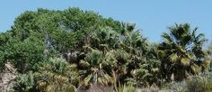 Pictures and description of Washingtonia filifera, California Fan Palm. Yoga Garden, Fan Palm, California, Nature, Plants, Naturaleza, Plant, Nature Illustration, Off Grid