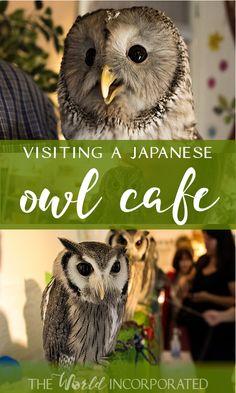 What do in Japan: visit an owl cafe!  Japanese owl cafes can be found all around the country. This was our owl cafe experience in Tokyo.