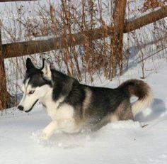 Siberian Husky snow fun run