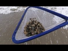 How to Catch Sand Crabs: A quick video on how I catch my sand crabs for fishing the surf. Simple method that will catch enough bait to last all day in under . Diy Fishing Bait, Surf Fishing, Saltwater Fishing, Fishing Tackle, Fishing Tips, Fishing Lures, Fishing Stuff, Crab Net, Ghost Shrimp