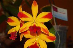 Orquidario Oro Verde pone a su disposición una selección de plantas clonadas de calidad Mundial, para satisfacer al coleccionista exigente! Venta de orquíd