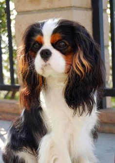 Things we admire about the Cute Cavalier King Charles Spaniel Pups King Charles Puppy, Cavalier King Charles Dog, King Charles Spaniels, Pet Dogs, Dog Cat, Doggies, Spaniel Puppies, I Love Dogs, Chihuahua