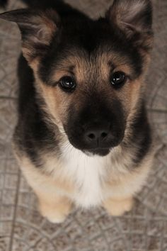 Cutest Puppy Eyes // German Shepherd // Want Him <3 #cute