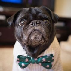 We thought wed go for a festive tie on Tuesday! #thepugdiary #Pug