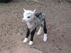 Meet the 'Geep': Butterfly the Sheep/Goat Hybrid is Super Cute. The mother named Momma is a sheep and the father, named Michael , is a Pygmy Goat. Butterfly has a goat's face and hooves, but a Sheep's coat. This was a total surprise to the owners.