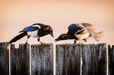 Thieving magpie on the fence - print for sale by Attila Simon. #magpie #wildlife #birds #photography #decoration #prints