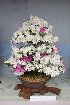 Bonsai - Satsuki - Rhododendron indicum