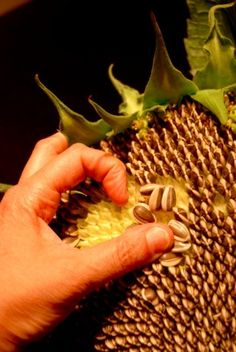 harvesting and drying sunflower seeds,