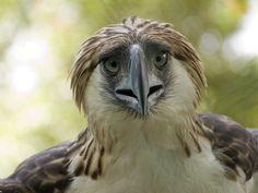 Philippine eagle, Mindanao