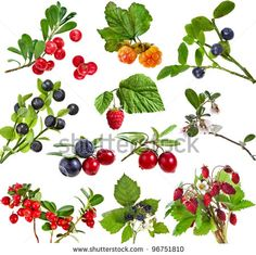 Collection set of wild forest berries  isolated on white background by Madlen, via ShutterStock