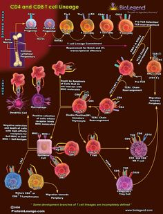 CD4 and CD8 T-Cell Lineage