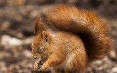 squirrel  free for desktop