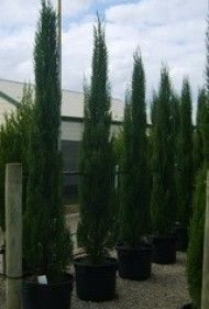 Cupressus sempervirens 'Glauca' Cultural notes: Full sun Height: 5mts (in 10 years) Width: 1mt.  narrow, evergreen tree, tightly column like shape. Dark green foliage with a tinge of blue. Low maintenance very symmetrical. Prefers full sun - well drained soil tolerates frost and dry periods once established. Will live by the coast and  pretty much anywhere as long as the soil drains well. Looks good in Mediterranean themed gardens slow release fertilizer in spring and only prune if required.