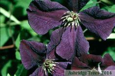 Clematis viticella 'Polish Spirit' is lovely vigorous clematis that will quickly grow to cover trellises and frames.