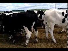 Молочные породы КРС   Племенной крупно рогатый скот  продажа 8965617005 WhatsApp