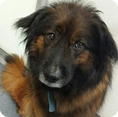Collie/Chow Chow Mix Dog for adoption in Glen Allen, Virginia - DA18 available now