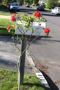 A rose on a mailbox.  Y Street, Vancouver, WA.  06/2014.