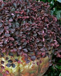 Purple Pixie® Loropetalum  Weeping Loropetalum chinense '  dwarf size, weeping habit, 1 to 2 feet tall by 4 to 5 feet wide. It's a great choice for a ground cover, but it can also add vibrant color to hanging baskets, window boxes, and other containers. Showy pink flowers combined with rich purple foliage.evergreen. deer-resistant. moderate to fast growth