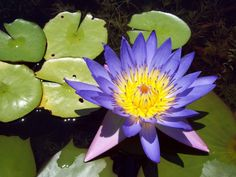 3 Mixed Colors LOTUS Nelumbo Pond Water Lily Lilypad Blue Red