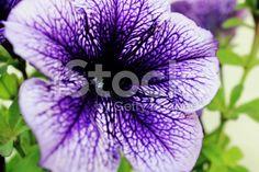 Colorful petunia – fotografía de stock libre de derechos