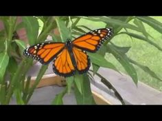 The Monarch Butterfly Life Cycle Video