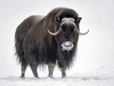 Musk ox.