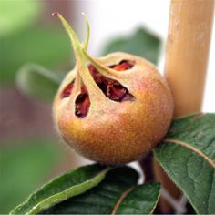 Nottingham Medlar Tree | Buy Medlar Tree | Purchase Medlar Fruit Trees